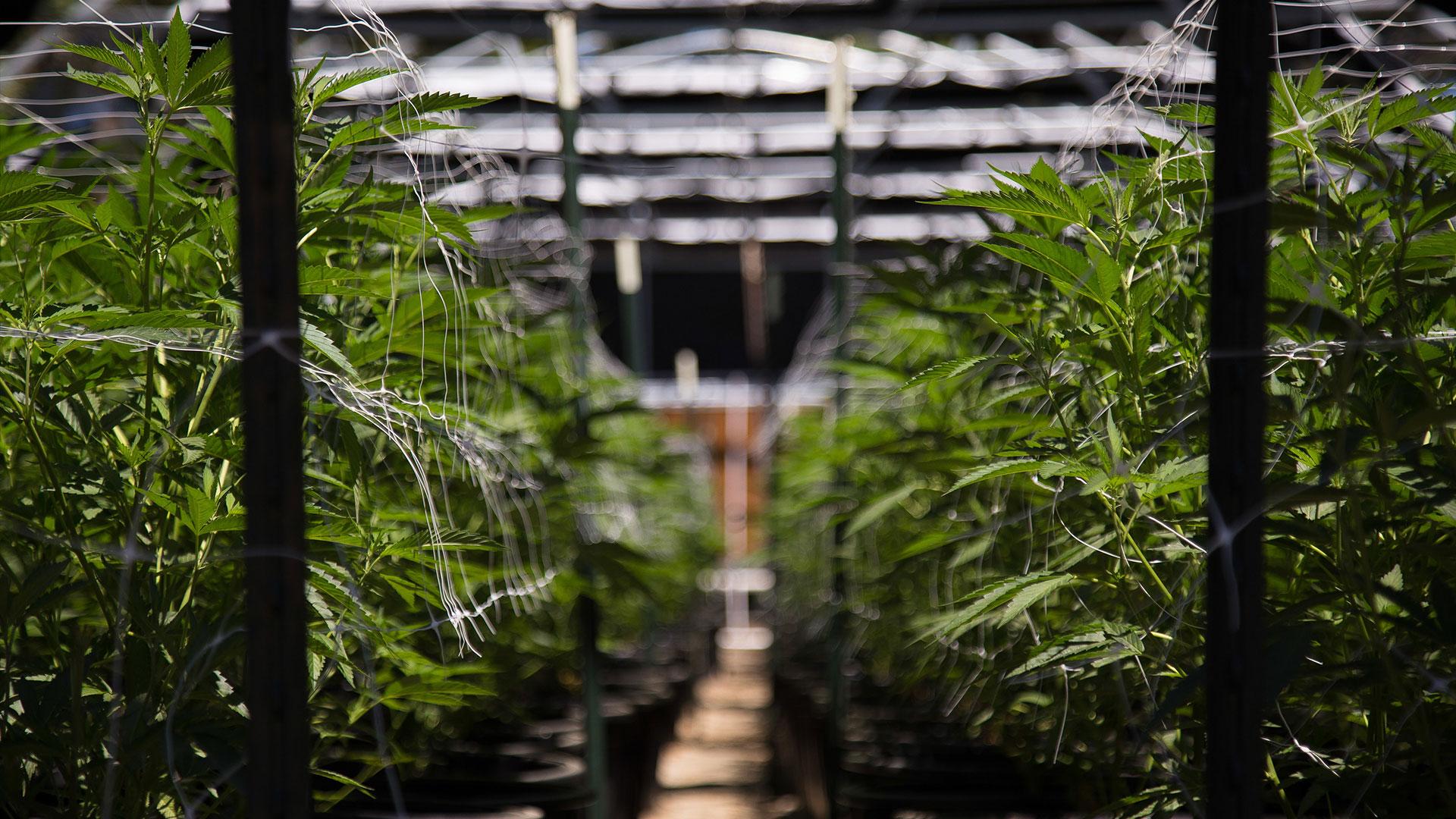 Cannabis - Marijuana plants