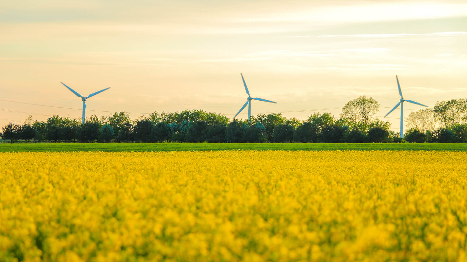 windmills-and-rapeseed-field