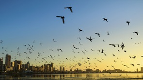Image of flock of bird flying over water towards city