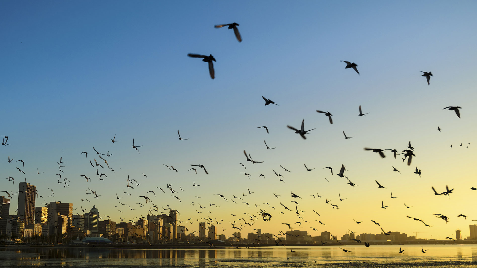 Image of flock of bird flying over water towards city