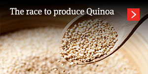 The race to produce Quinoa: opportunity knocks for grain farmers