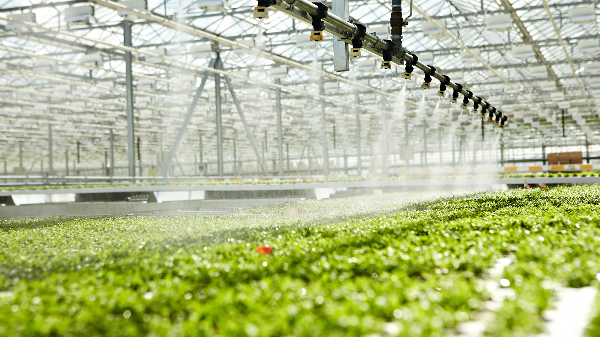 plants in a greenhouse being sprayed with water