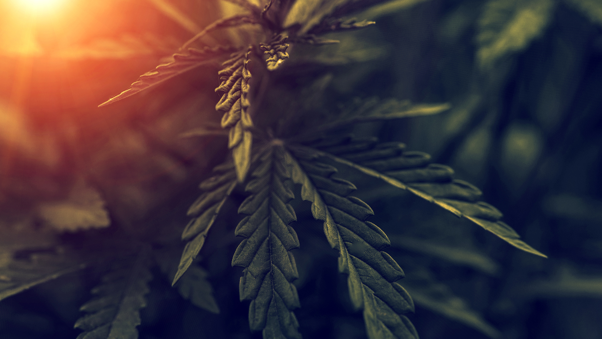 cannabis plant with sunlight