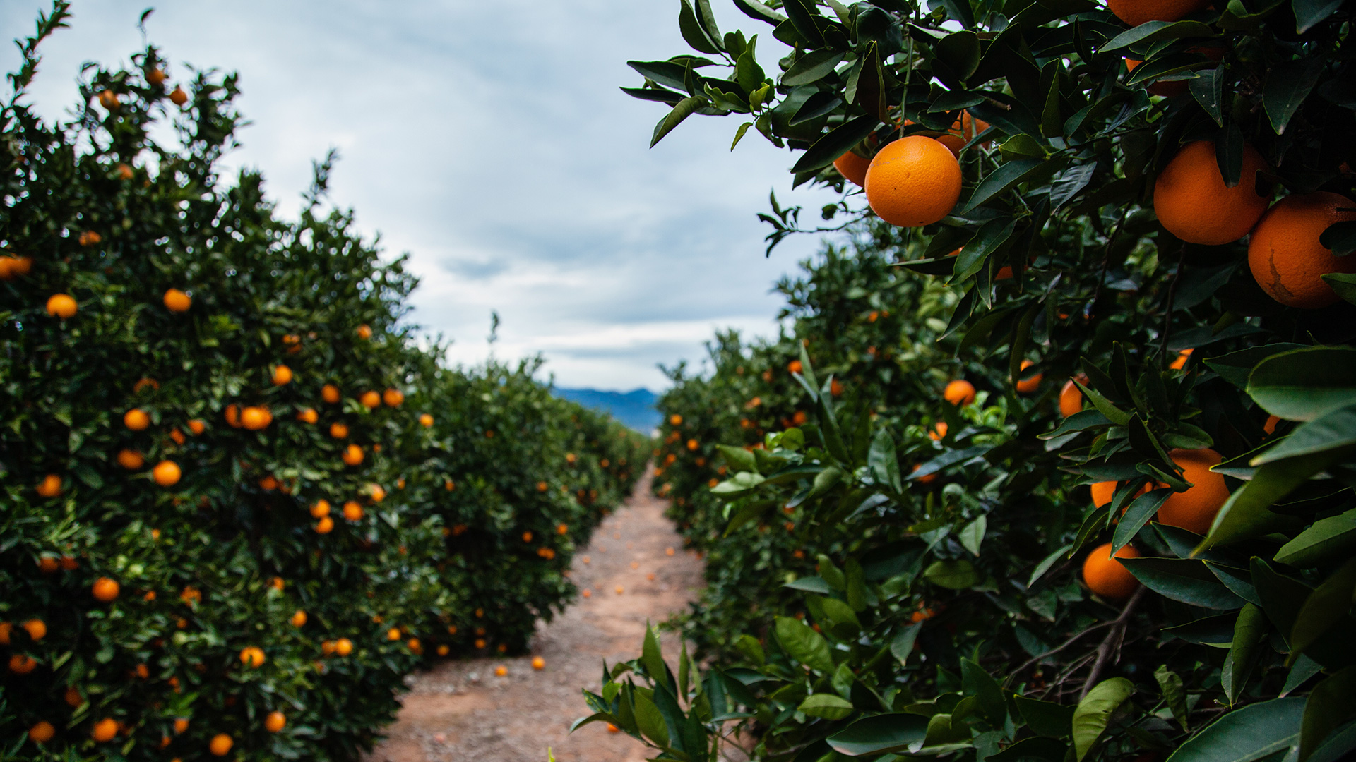 oranges in the field